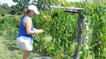 http://wfae.org/post/what-it-takes-grow-vineyard